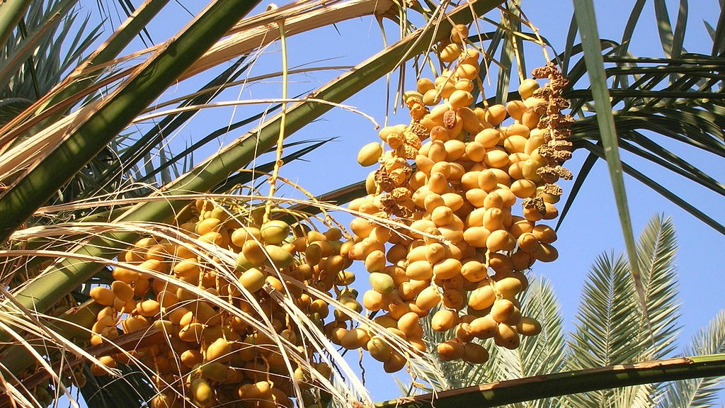 1024px-Ripe_and_dry_dates_fruit_bunches
