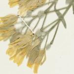 Physaria Closeup