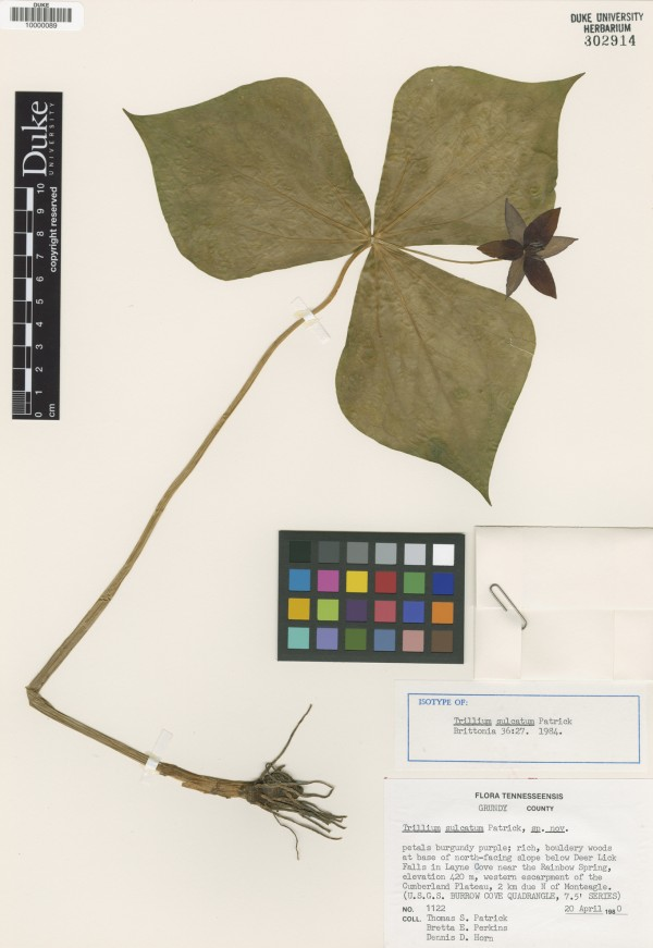 Trillium sulcatum, or Southern Red Trillium. The Duke Herbarium houses over 800,000 plant specimens.
