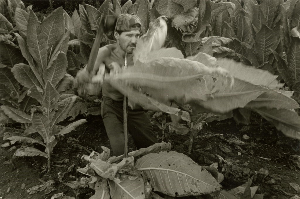 Migrant farmworker cutting and spudding tobacco, 1993. Copyright, Rob Amberg