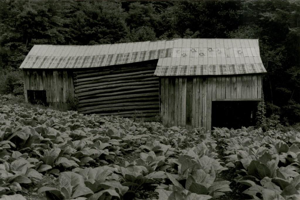 Tillman Chandler's barn and tobacco crop, 1975. Copyright, Rob Amberg