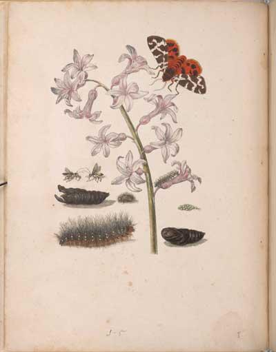 Maria Sibylla Merian. De europische insecten. Tot Amsterdam: by J.F. Bernard, [1730].