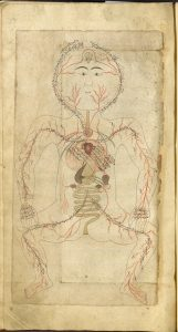 Image from a manuscript showing a drawing of a person designed to show their anatomy, including the circulatory and digestive systems. There is writing in Persian