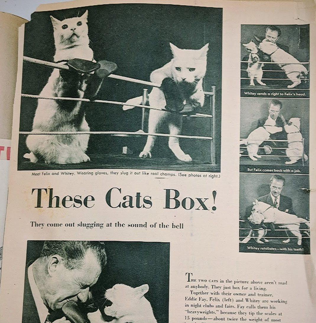 Cats wearing tiny gloves in a ring boxing.