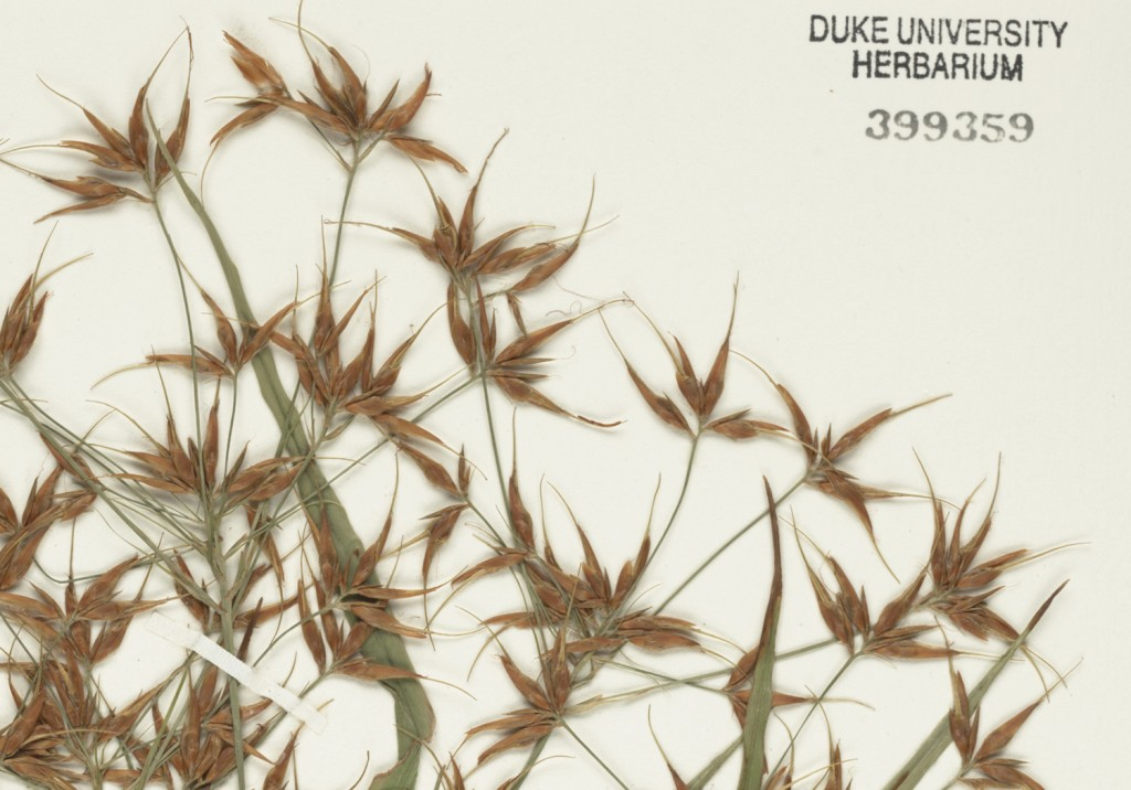 Detail: Herbarium sample of Rhynchospora, commonly known as beak-rush or beak-sedge.