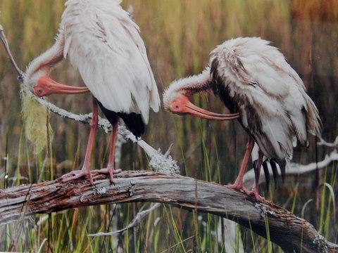 White Ibis Pair