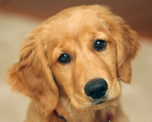 1920x1080-cute-golden-retriever-puppy-animals-baby-animals-dogs-golden