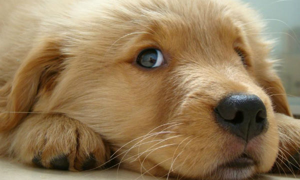 Golden-Retriever-Puppies-Wallpaper-02